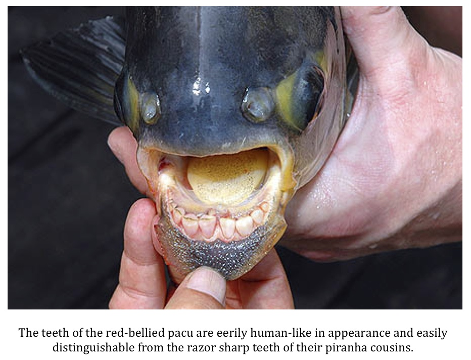 Texas cryptid hunter september 2012 for Pacu fish teeth