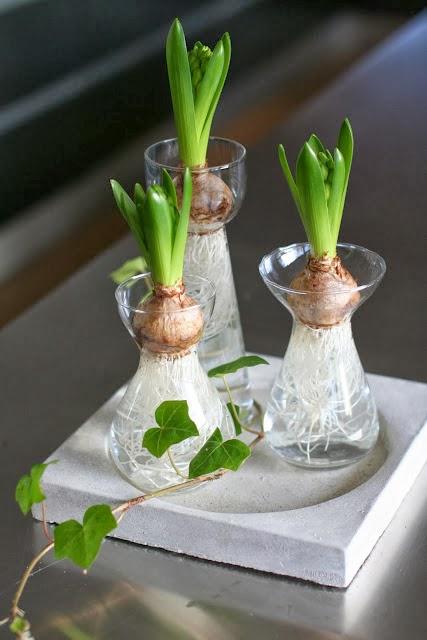 Decoraci n f cil es tiempo de jacintos - Jacinto planta cuidados ...