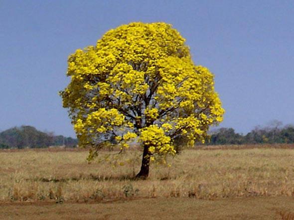 ipe de jardim familia:Cantinho do Alvorecer: Ipê Amarelo–O Símbolo do Brasil
