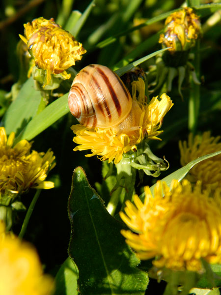 Banded snail on dandelions