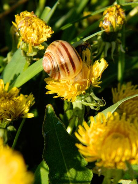 Banded snail on dandelions