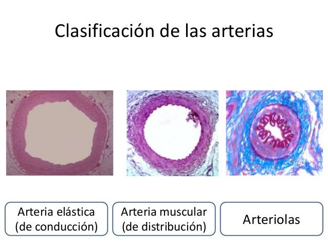 AnatodinamicUVM: Sistema Cardiovascular