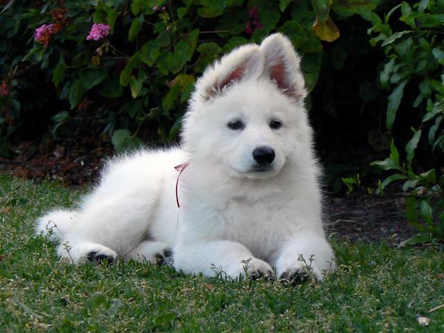 shepher dog