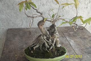 new style bonsai