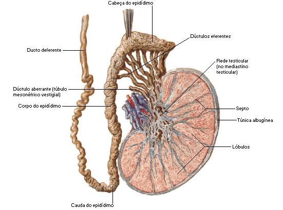 Hormonas y reproducción. ¿Lo sabes todo?: Anatomía