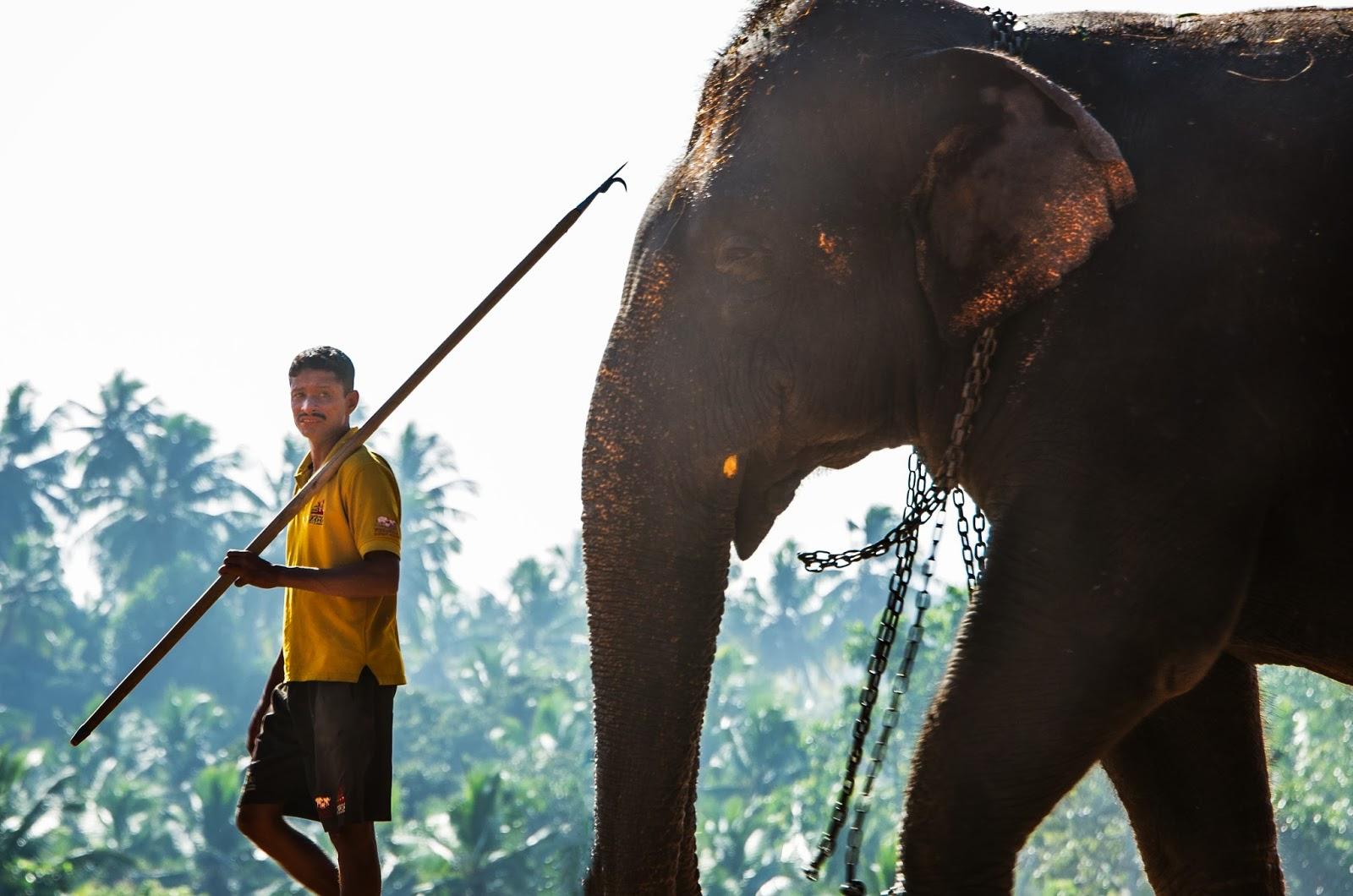 Sri Lanka mahout