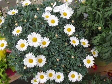 Margerite - ungiftige Pflanzen