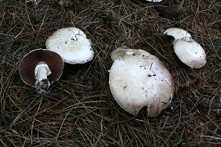 Agaricus Silvicola - Champiñón anisado