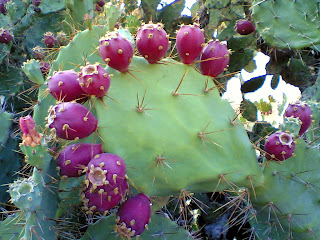 Nopal cactus, known as prickly pears