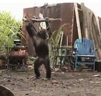 chimpance metralleta fail