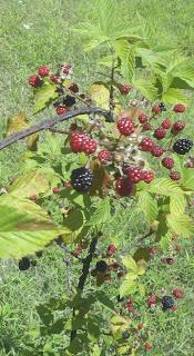 blackberry cobbler, fresh blackberries, harvesting blackberries, life on a farm, summer harvest