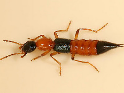 Serangga Tomcat, kumbang rove, semut  semai, semut kayap