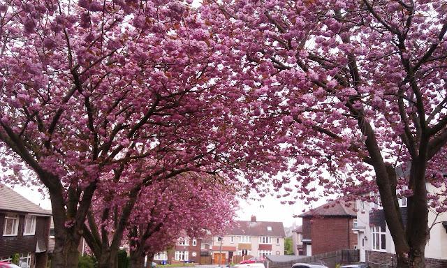 Cherry Blossom Tree Sheffield