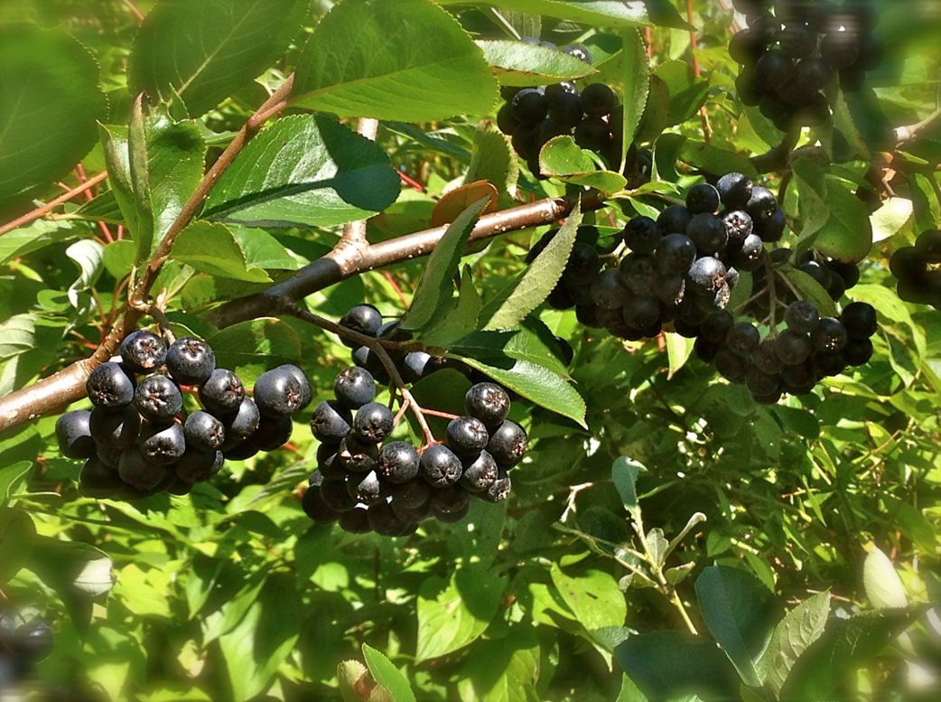 ravencroft garden aronia berry a perfect fit for your. Black Bedroom Furniture Sets. Home Design Ideas