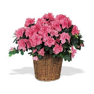 Order a Mother's Day Azalea