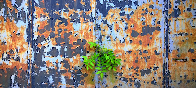 haikumages // Tiny, mighty ash / tree breaks through the metal gate / growing undaunted.