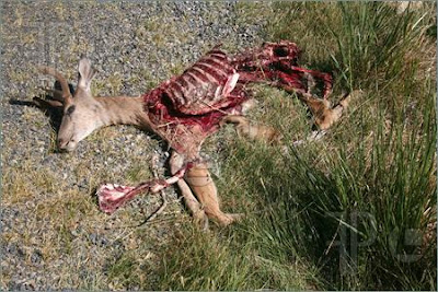 This Biologist Gives A Great Description of Bigfoot Feeding On Deer Kill