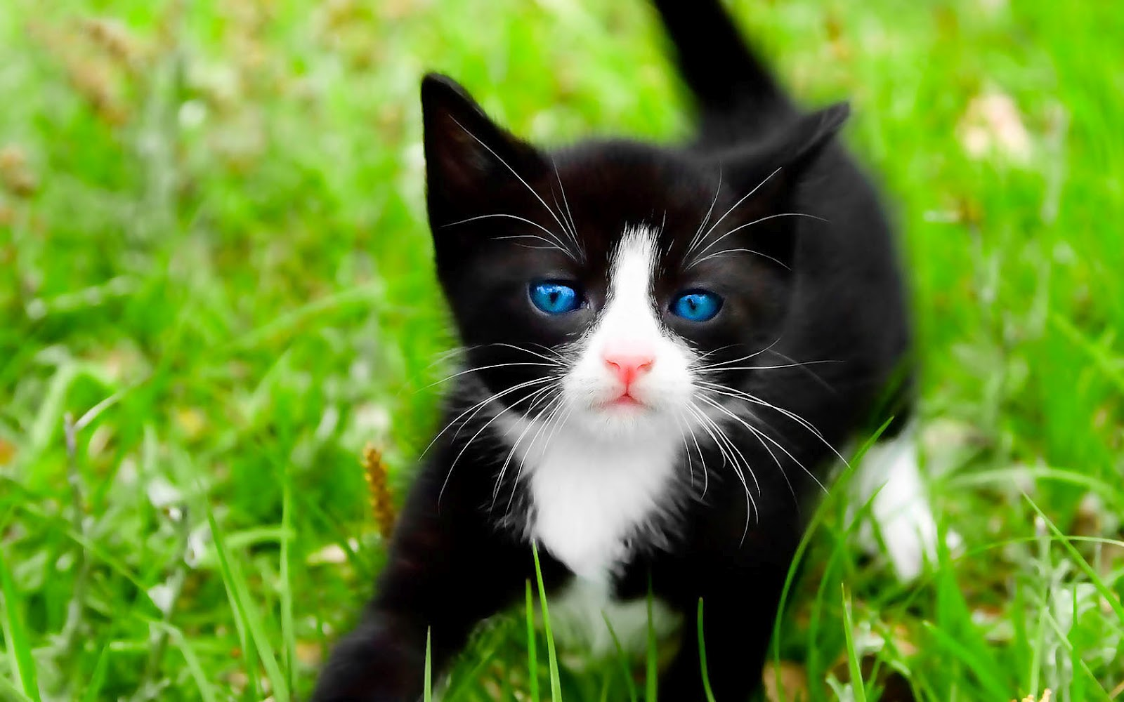 hdcatwallpaperwithablackcatonthegrasshdcatswallpapers