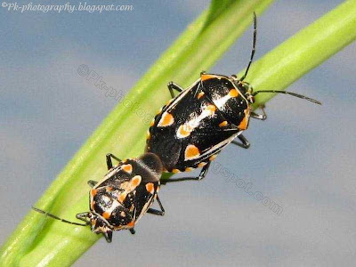 Painted Bug