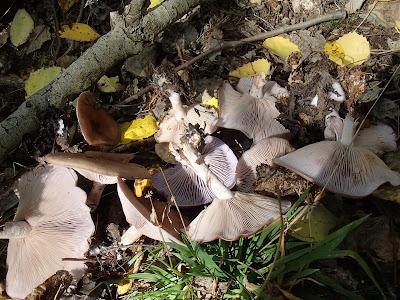 Orawa, Babia Góra, Lipnica Wielka, grzyby w październiku, grzybobranie na Orawie