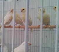 Daftar Harga Burung Kenari Terbaru Bulan Januari Tahun 2014 Terlengkap