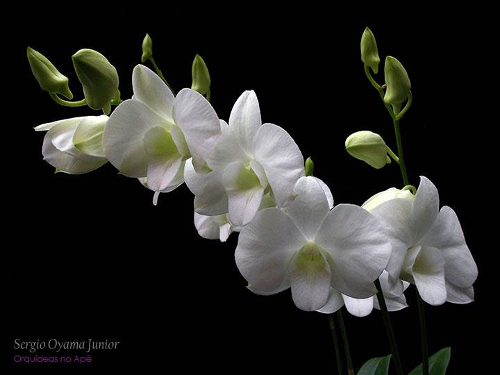 Orquídea Dendrobium híbrido - Denphal