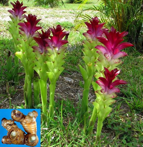 Curcuma zedoaria Rosc. (Family: Zingiberaceae)