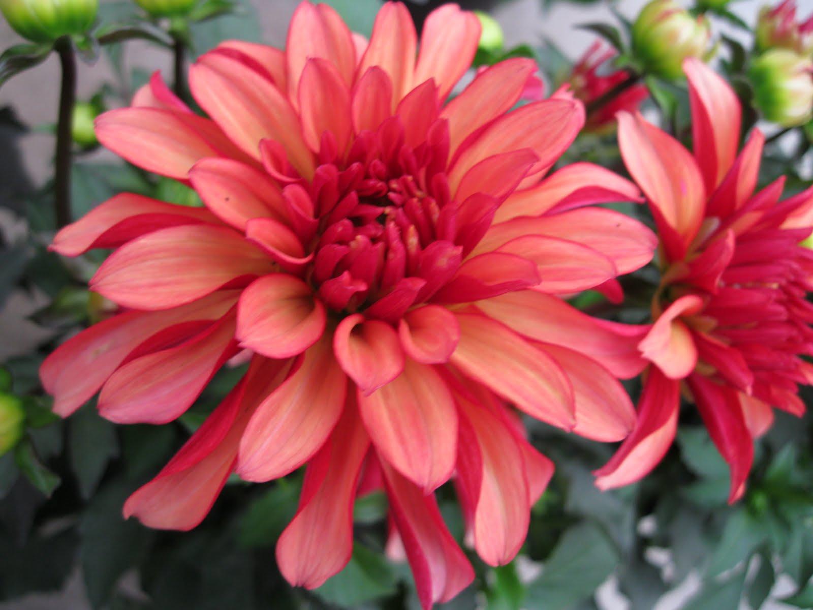 Flowers For A Dahlia Hummingbird Garden Sloat Garden Center