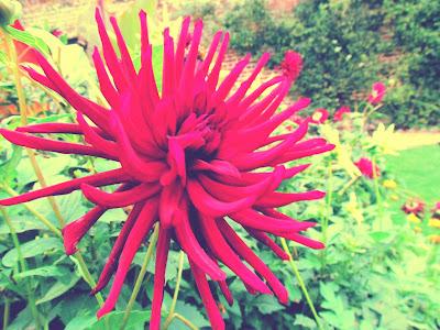 bookandacuppa, book and a cuppa, book & a cuppa,pink spiky flower, Audeley End, Kitchen garden, formal garden, delicate, green, nature, green, pretty, beautiful, wall, Audeley End, Essex, Saffron Walden