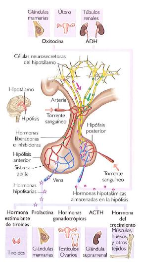 La hipófisis o glándula pituitaria ~ INEVID