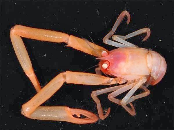 criaturas marinas langosta colorada