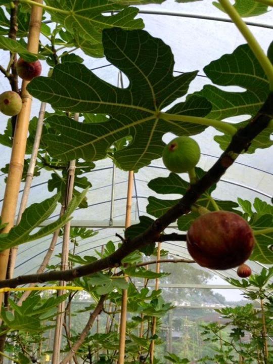 Figs : MASUI DAUPHINE