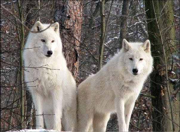 white wolf 15 photos of the most amazing animal in alaska arctic wolves. Black Bedroom Furniture Sets. Home Design Ideas