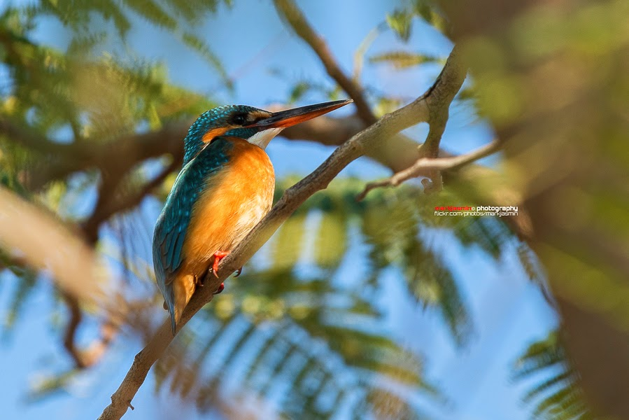 Common Kingfisher - female
