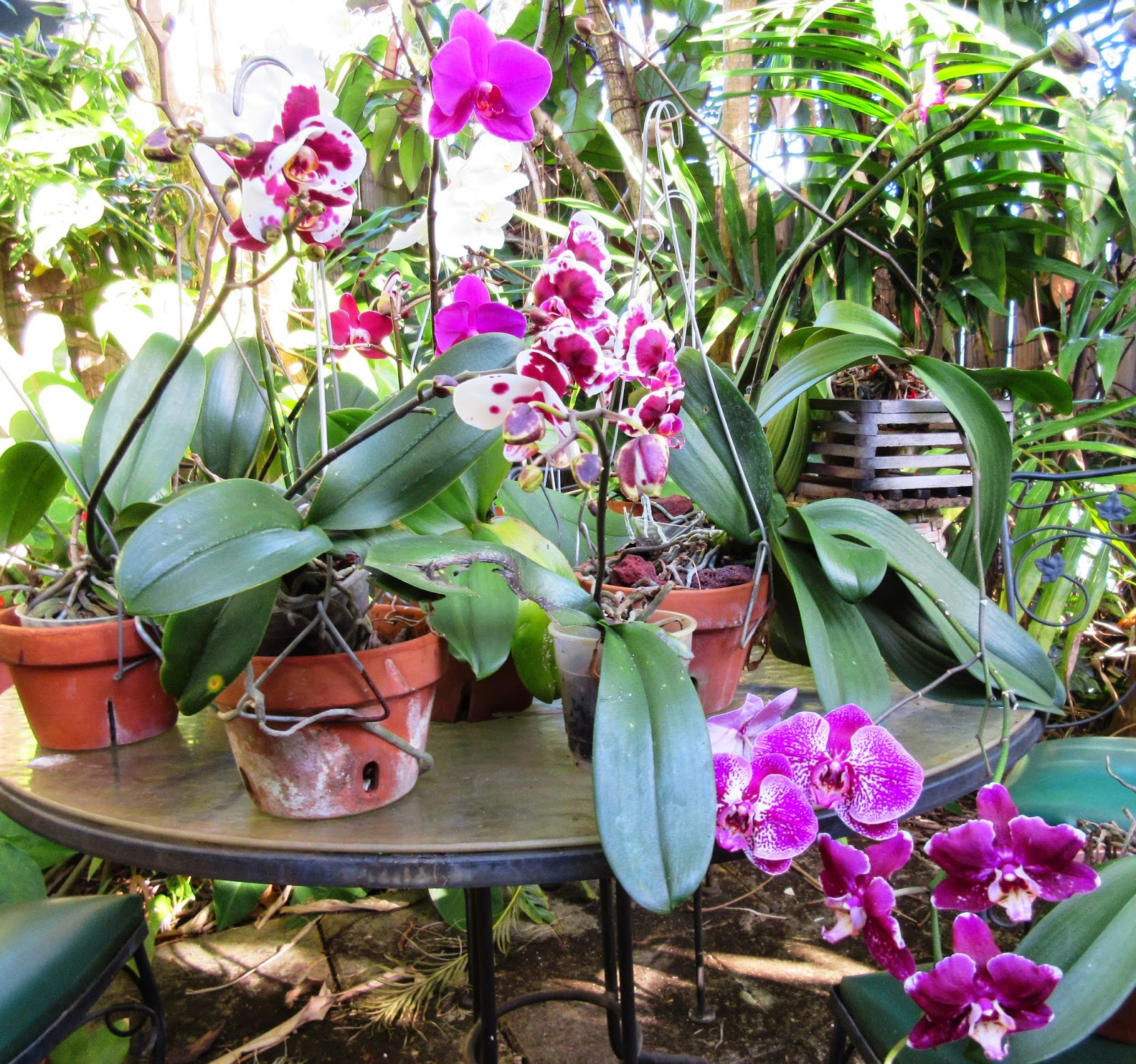 After reading up I discovered my vandas needed the most light and mine get some early morning and late afternoon direct sun with filtered sun mid day. & Robertu0027s Tropical Paradise Garden: Secrets of growing amazing orchids azcodes.com
