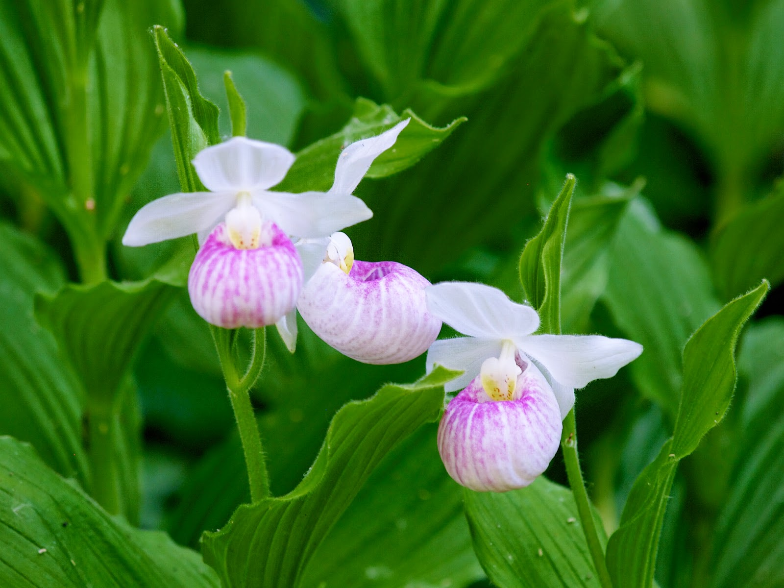 Benefits Of Lady's Slipper (Cypripedium Pubescens) For Health
