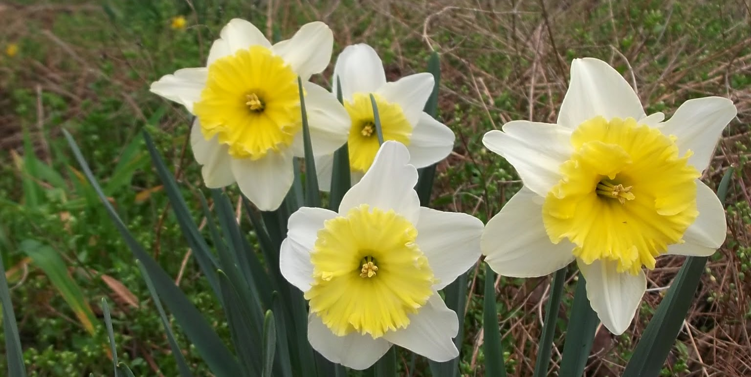 how to grow daffodils by seed
