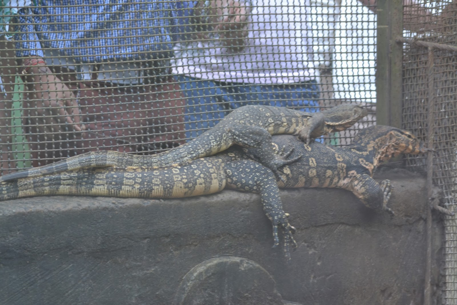 monitor lizard at nandankanan zoological park