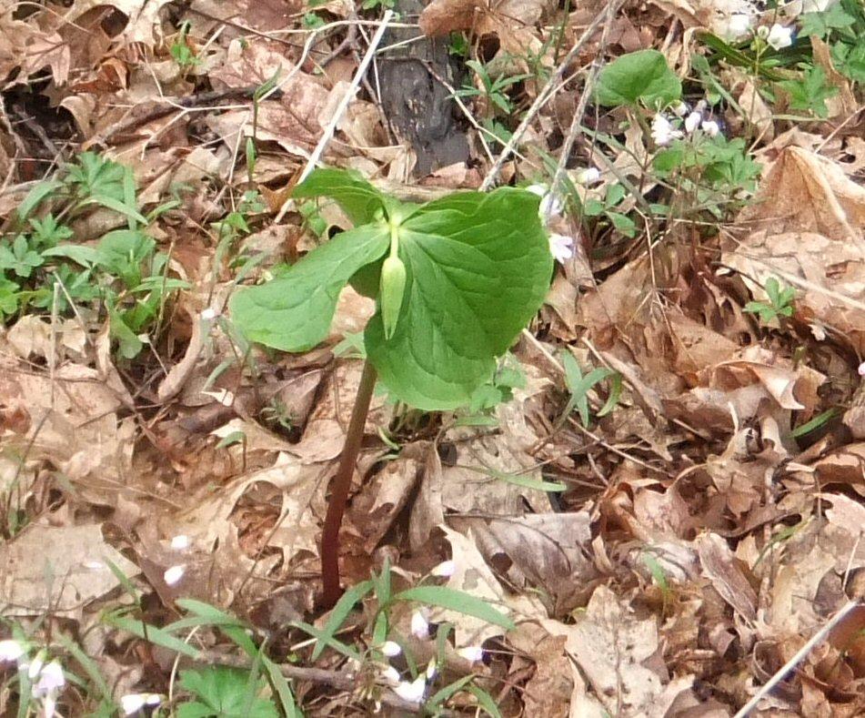 Trillium Sessile Usda of The Sessile Trillium 39 s