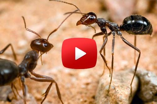 بالفيديو: النمل يكلم بعضه ليثبت للعالم عظمة الإسلام وقصة النملة التي سمعها سيدنا سليمان ! سبحان الله