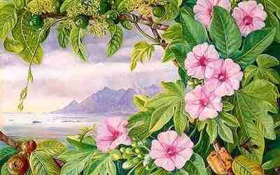 Flower Picture Gallery on Marianne North   Ipomoea And Vavangue With Mahe Harbour In The