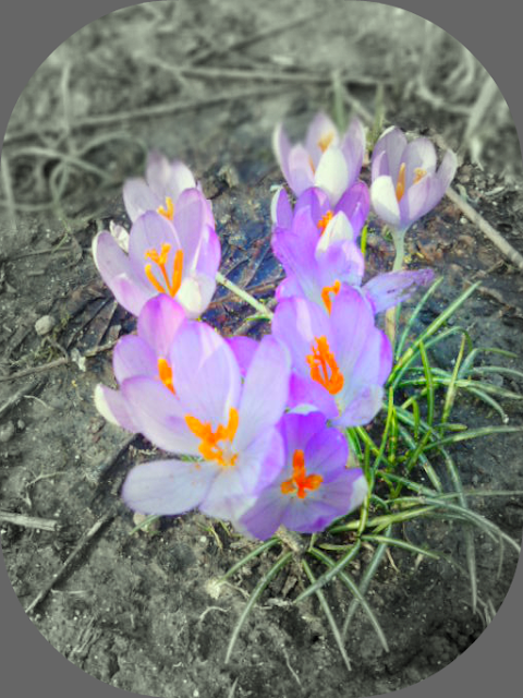 spring crocus flower purple