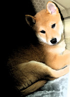 Chloe the Shiba Inu