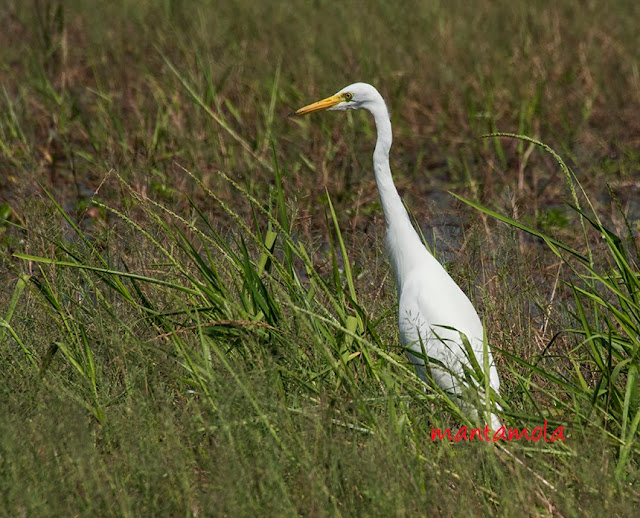 Great Egret (Casmerodius albus)