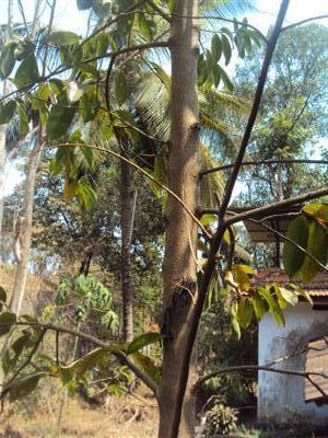 papanasini: SOURSOP TREE (MULLEN CHAKKA) Soursop Tree In Kerala