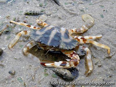 Crucifix Crab (Charybdis feriatus)