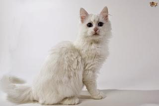 Gambar Kucing Anggora Lucu dan Imut 100011