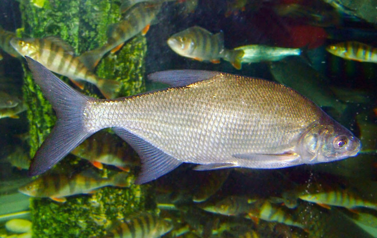 http://en.wikipedia.org/wiki/Common_bream