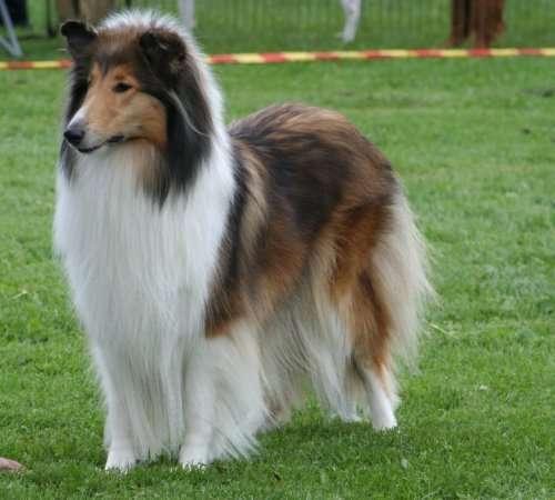 Small Lassie Dog Breed