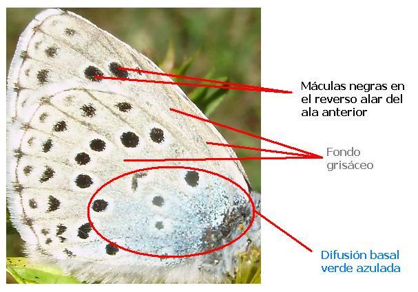 Ala de bolboreta Phengaris arion